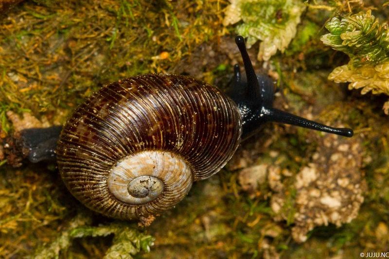 Gastéropodes terrestres de Nouvelle-Calédonie _mg_3610