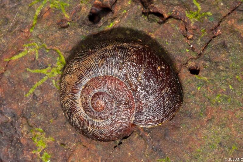 Gastéropodes terrestres de Nouvelle-Calédonie _mg_9111