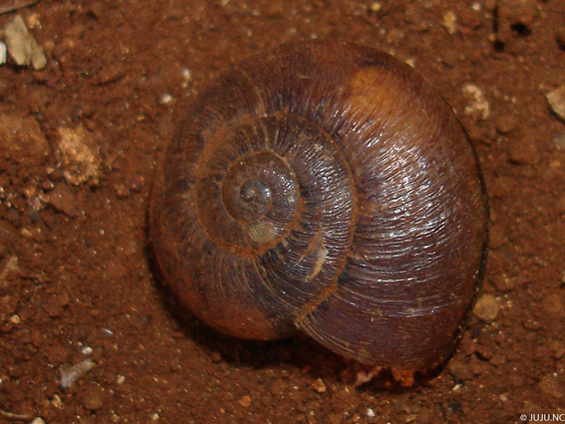 Gastéropodes terrestres de Nouvelle-Calédonie Dsc05412