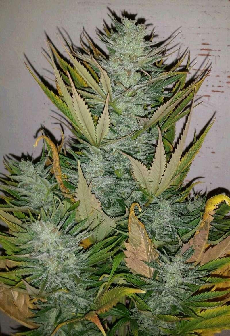 Mis primeras flores con Cannaboom. Rps20110