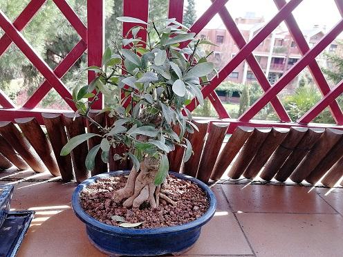 Nuestros primeros bonsais Bonsai10
