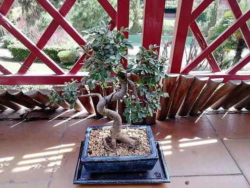 Nuestros primeros bonsais Olmo10
