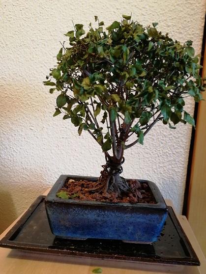 Nuestros primeros bonsais Sagere11