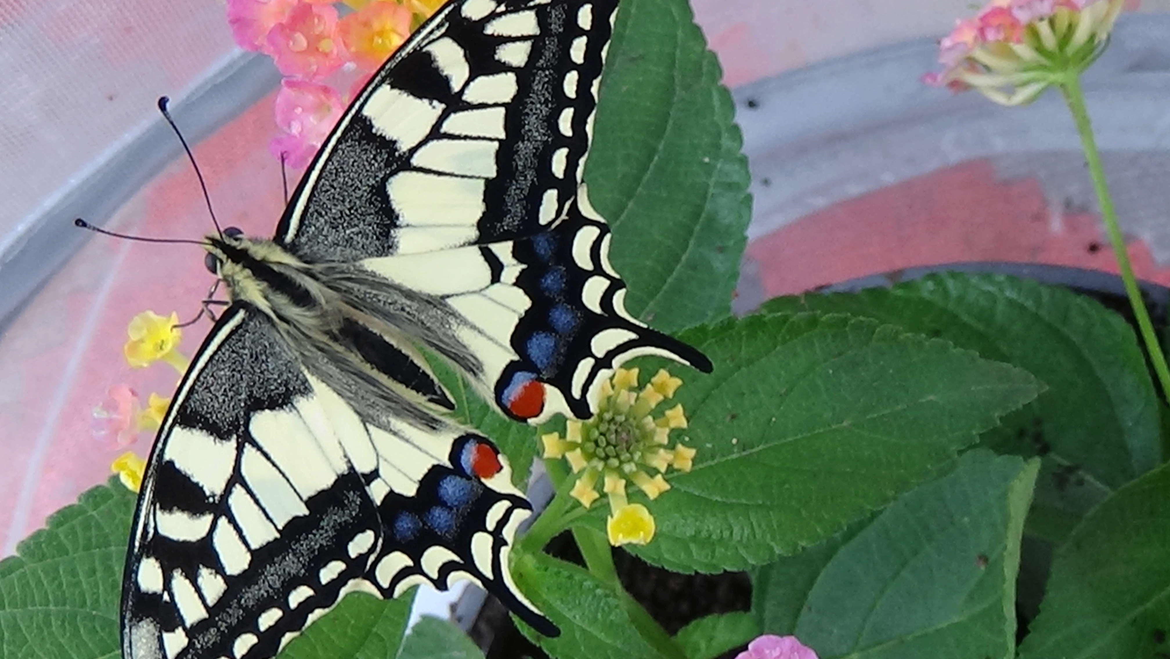 accouplement Papilio machaon Dsc00216