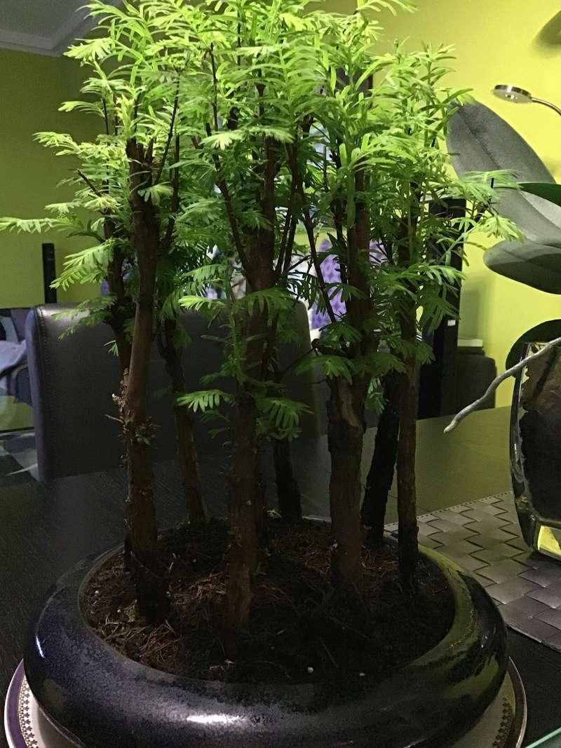 Dudas con bonsai bosque secuoyas  Bb973110