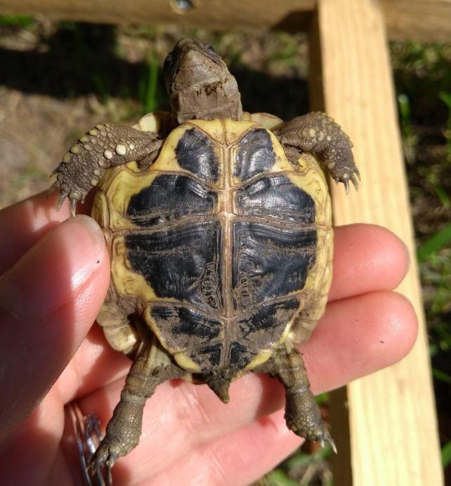 A partir de quand laisser sa tortue Hermann juvénile dehors? Captur12