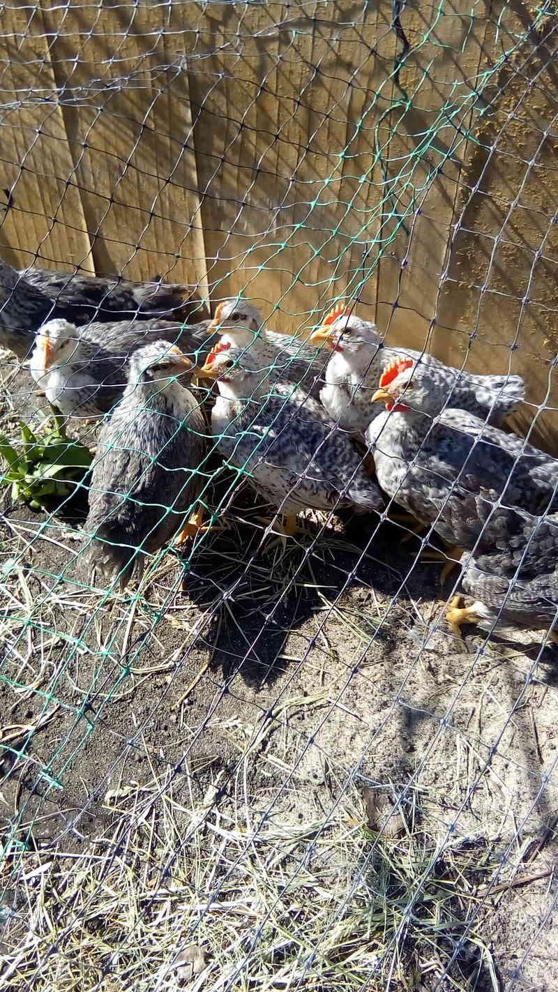 Борковская барвистая порода яичних кур - Страница 10 Img_2010
