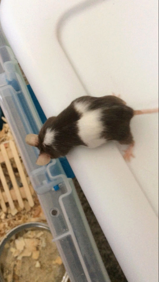 Mouse pregnant? 58304810