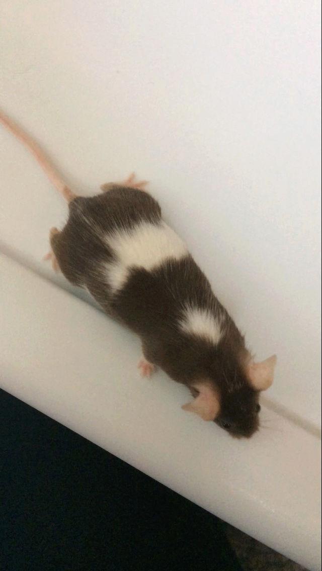 Mouse pregnant? D8a8c410