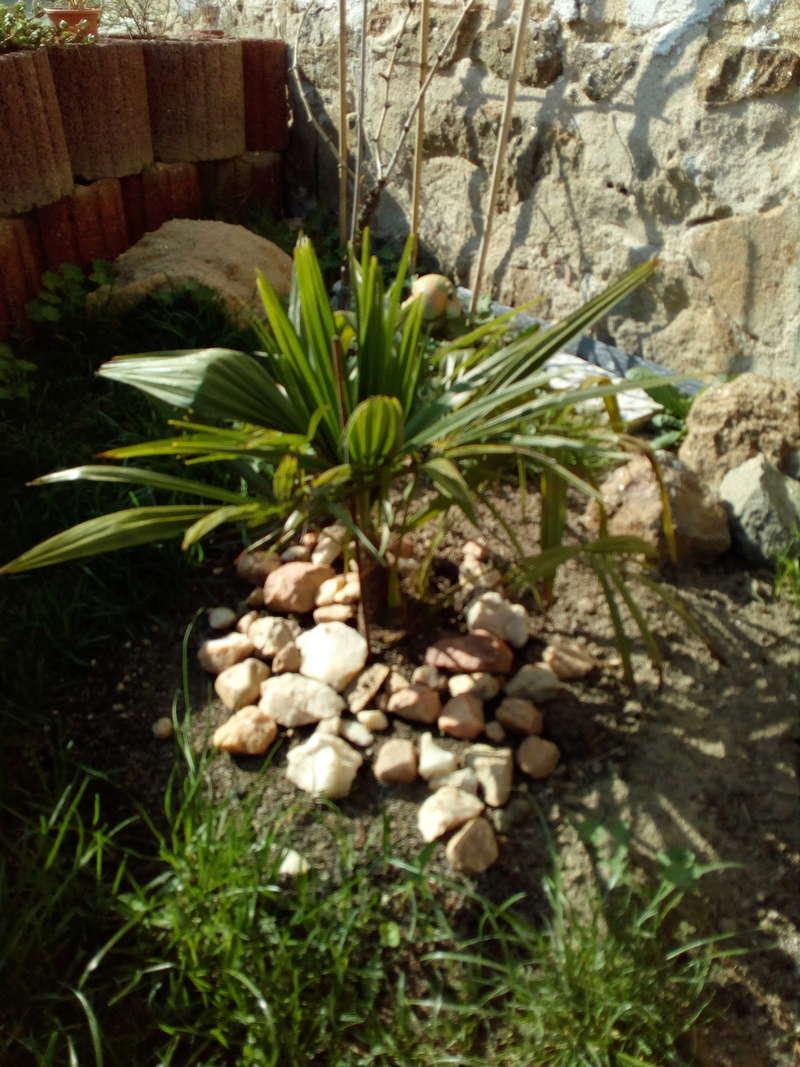 Trachycarpus fortunei, část 2 - Stránka 11 Img_2012