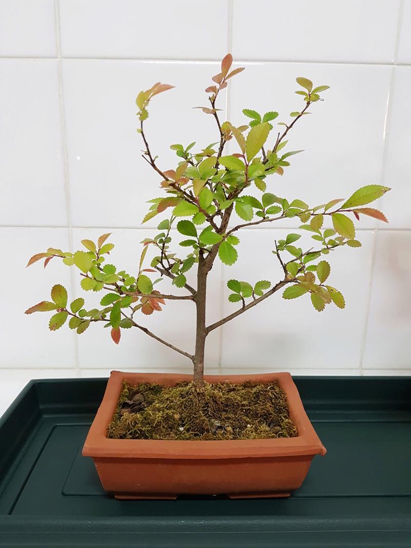 Novato en el mundo del bonsai 20180416