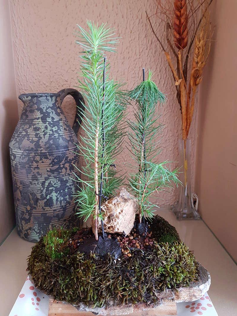 Acículas bosque de pinos decaídas 20180419