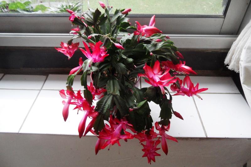 Cactus de Noël 00210
