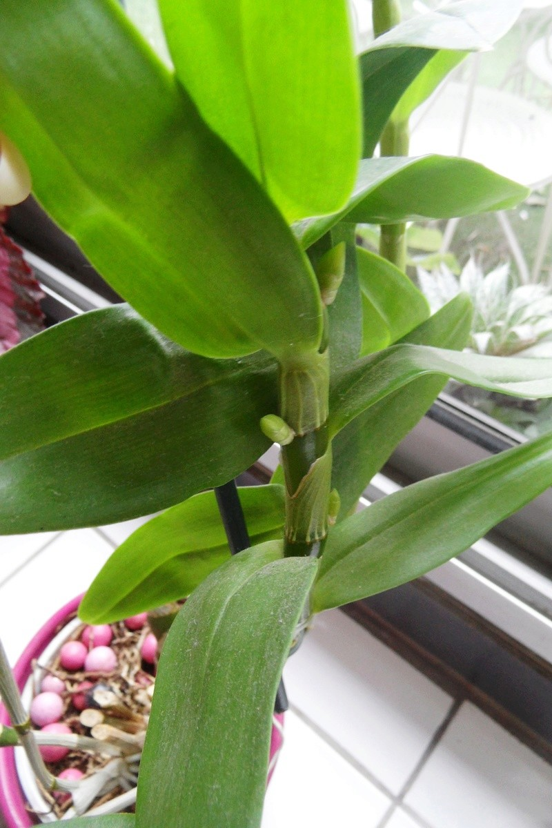 Dendrobium nobile 00310