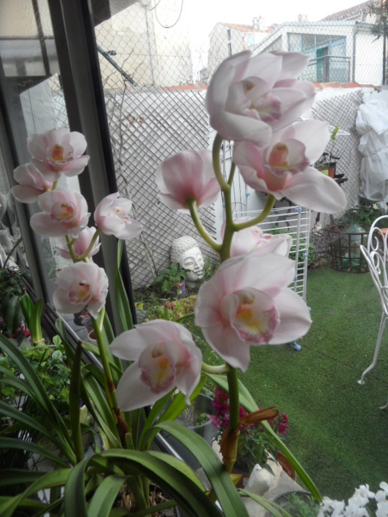 cymbidium Sam_0011