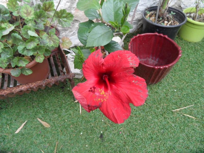 Hibiscus  rouge  Sam_0224