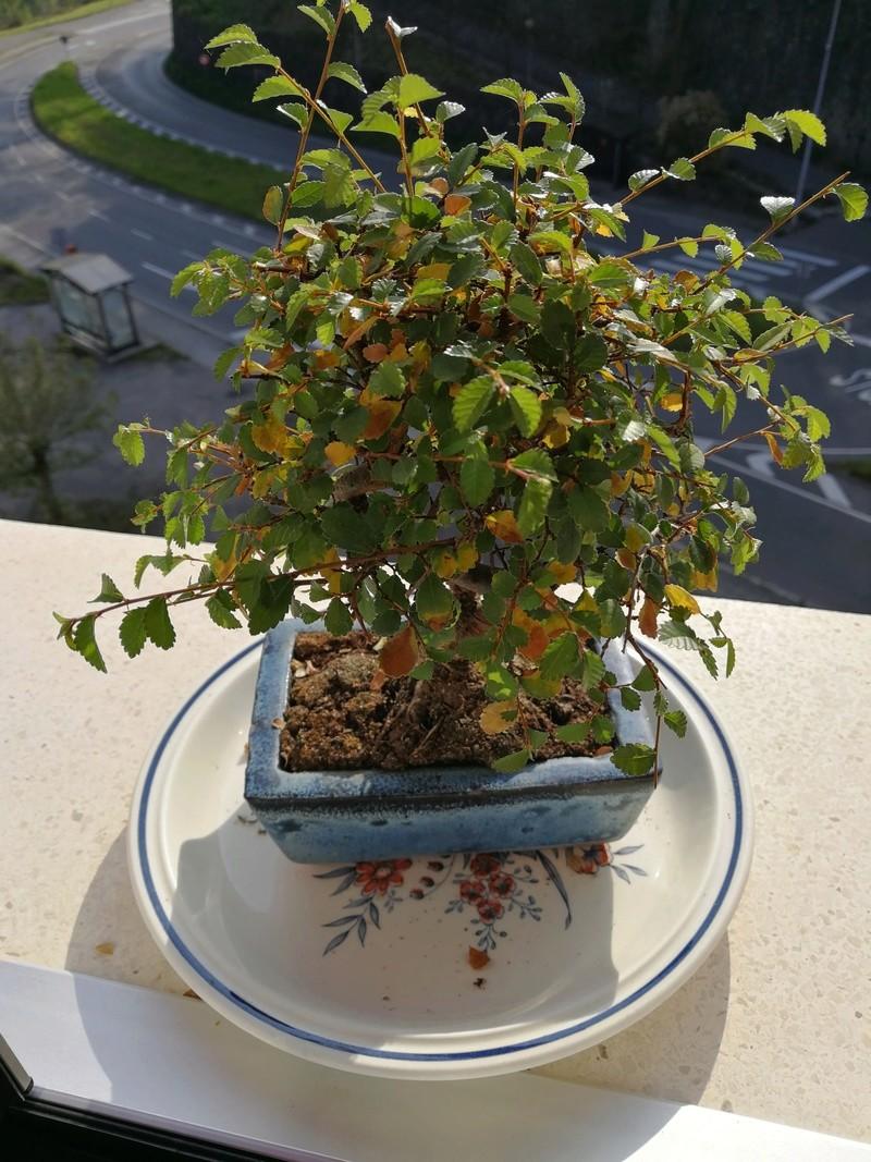 Bonsai zelkova parvifolia hojas semicaduca Img_2010