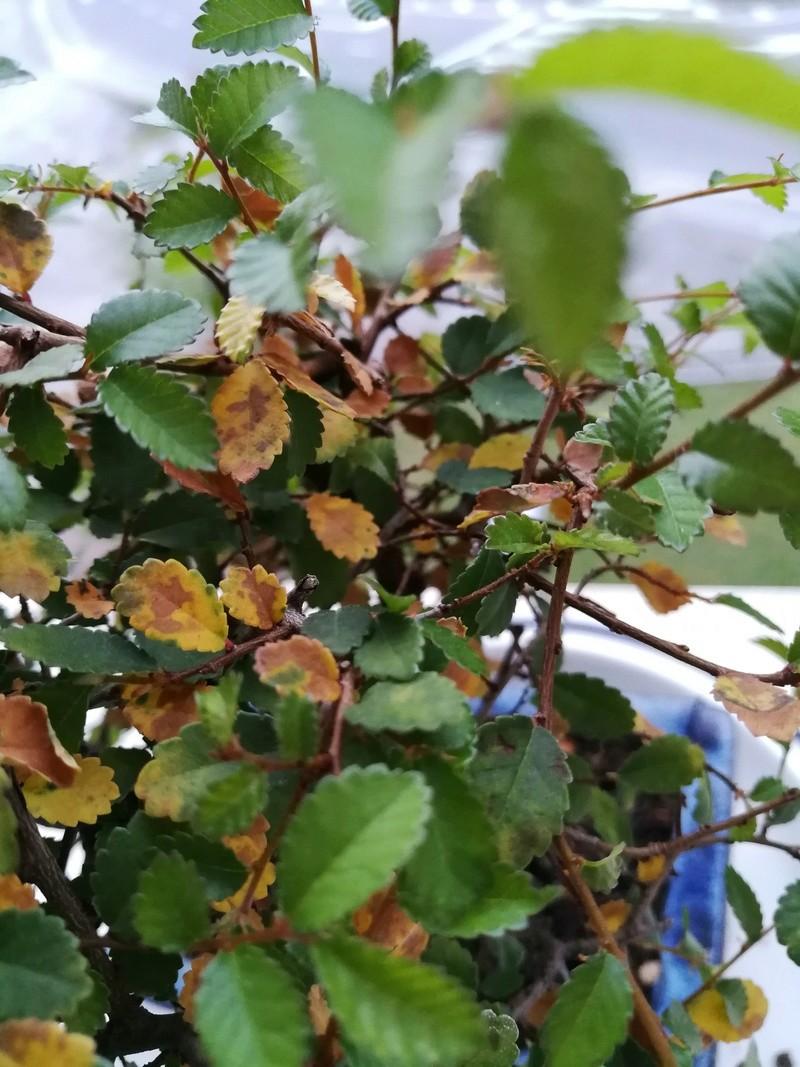 Bonsai zelkova parvifolia hojas semicaduca Img_2012