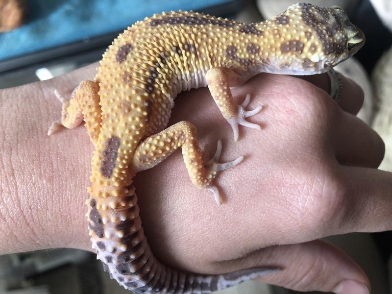 Quelles sont les phases de mes geckos ?  2e6eff10