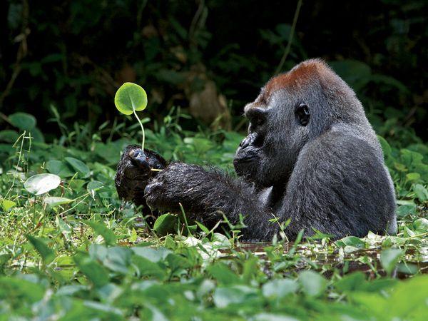 ^NUESTRO MUNDO^ Gorila11