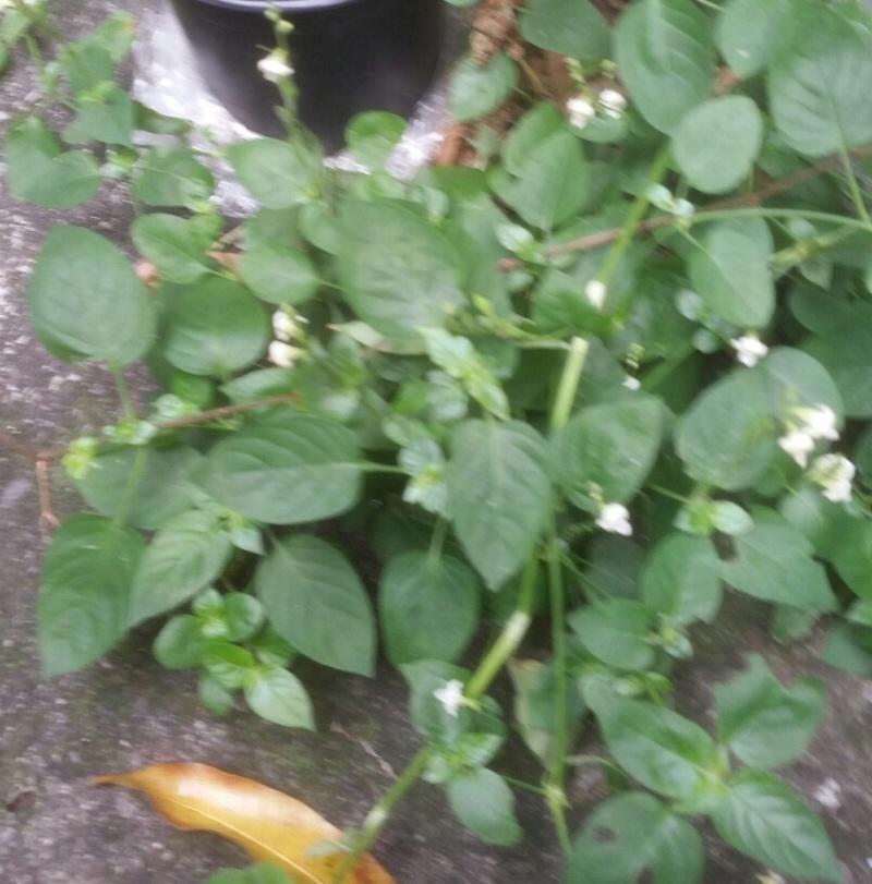 Identification plantes 2018-016