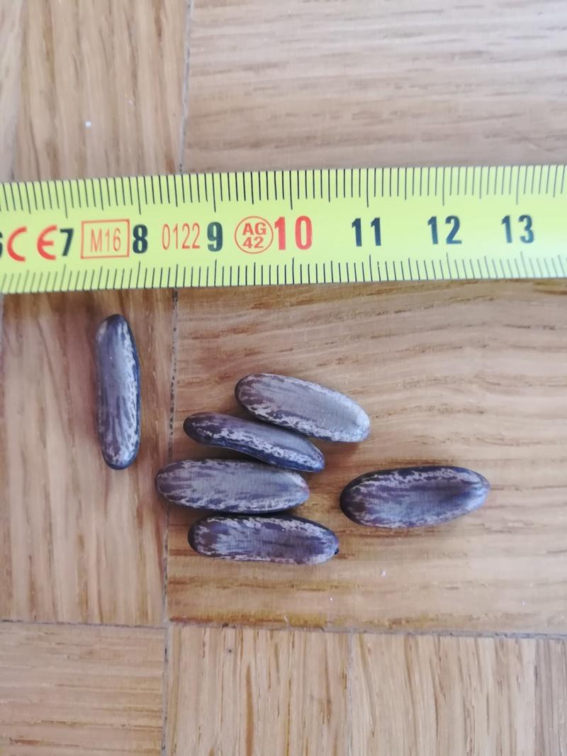 """Caesalpinia bonduc """"canique grise"""" """"graine awale"""" et Caesalpinia pulcherrima etc... Img_2025"""