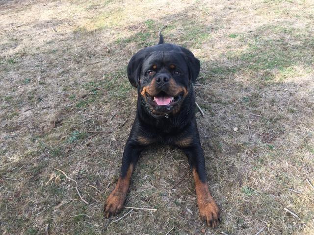 BLACK (Rottweiler) Img-1011
