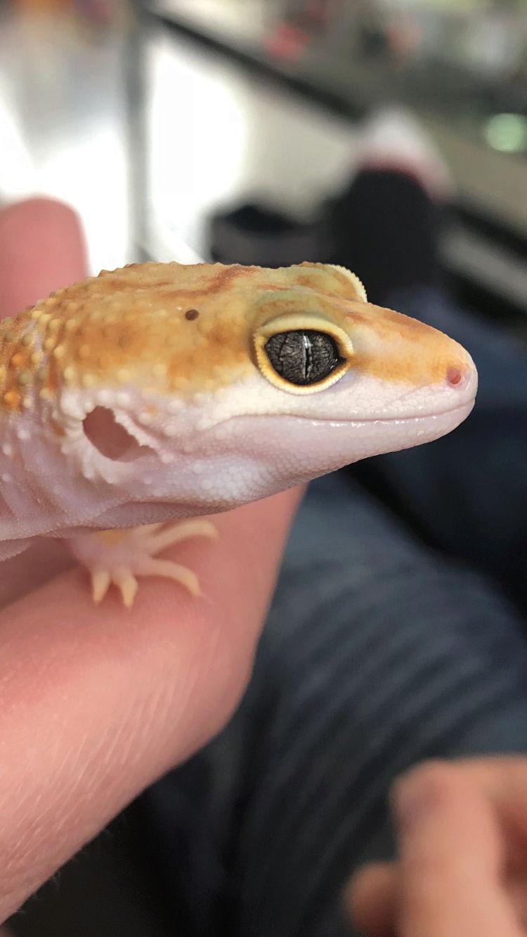 Novice Gecko Leopard ^^ Img_5210