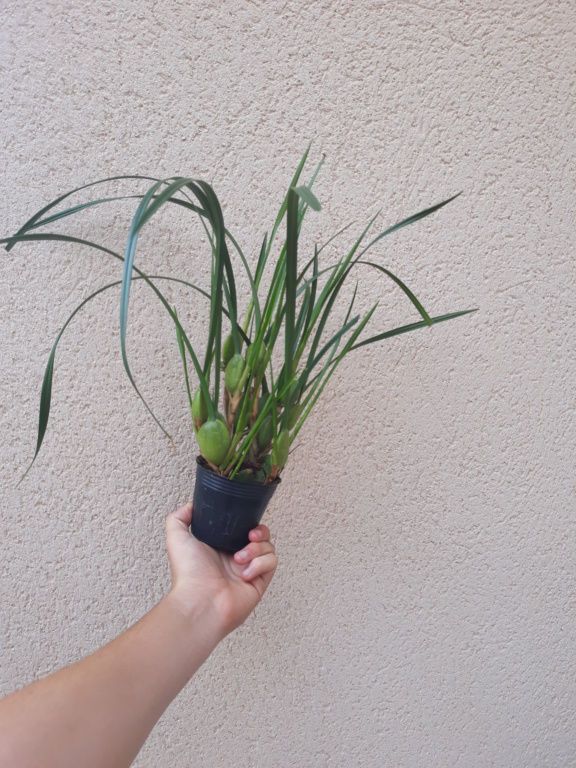 maxillaria tenuifolia 20180713
