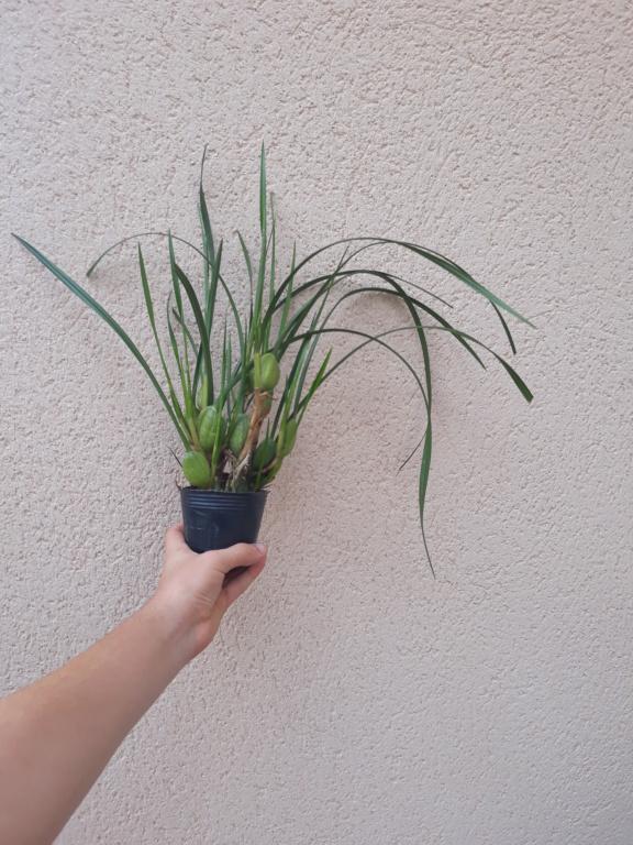 maxillaria tenuifolia 20180714