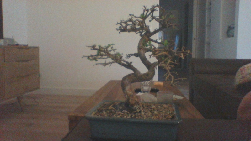 Zelkova no me crecen las hojas! Win_2011
