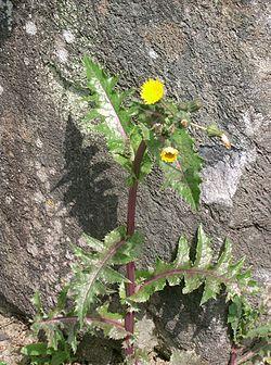 Cerraja y Cardo liso (Sonchus asper y Sonchus oleraceus)  250px-10