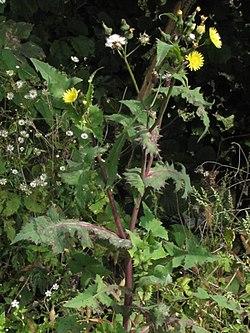 Cerraja y Cardo liso (Sonchus asper y Sonchus oleraceus)  250px-11
