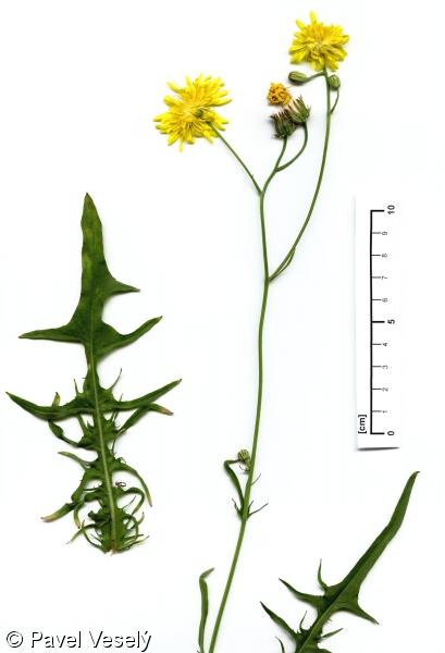 Cerraja y Cardo liso (Sonchus asper y Sonchus oleraceus)  Crepis10