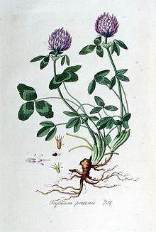 Trébol rojo (Trifolium pratense)  Trifol10