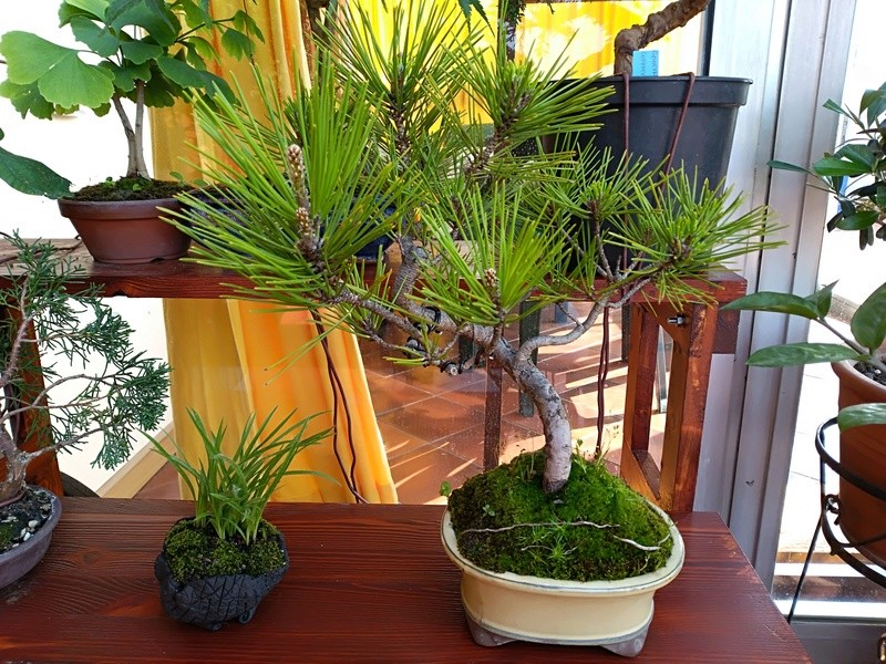 Pinus Thunbergii Img_2011
