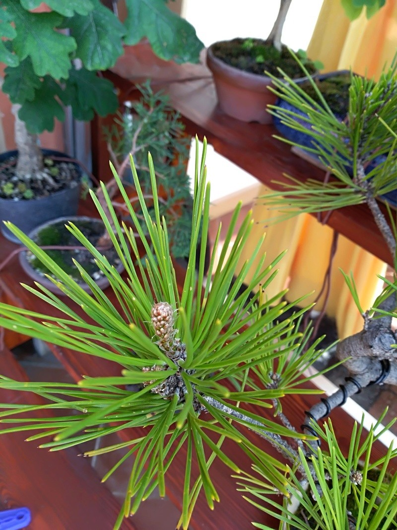 Pinus Thunbergii Img_2012