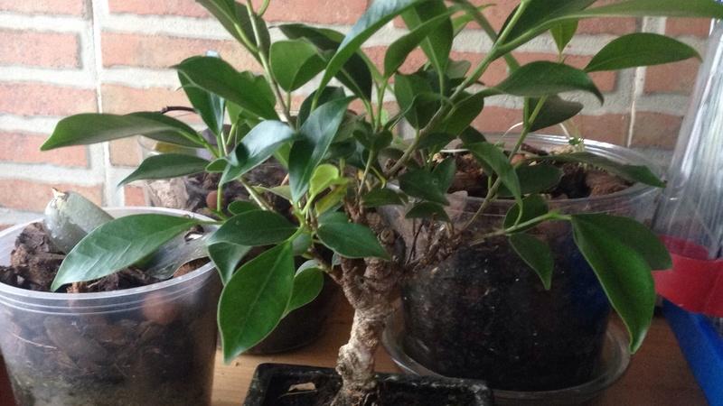 Ayuda identificar especie Bonsai11