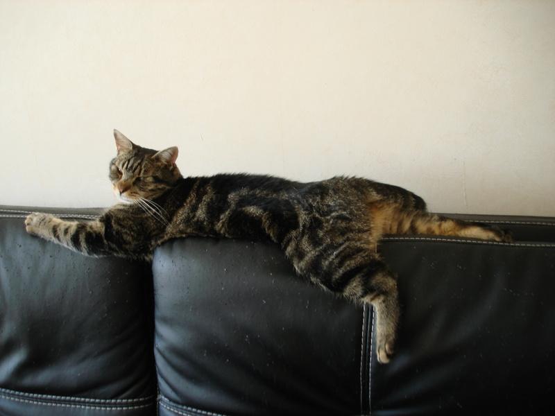 Mouty, jeune chat type européen, tigré, né en juin 2016 Dsc00011