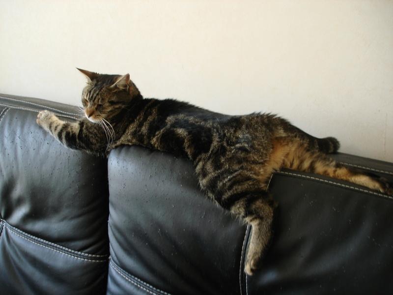 Mouty, jeune chat type européen, tigré, né en juin 2016 Dsc00013