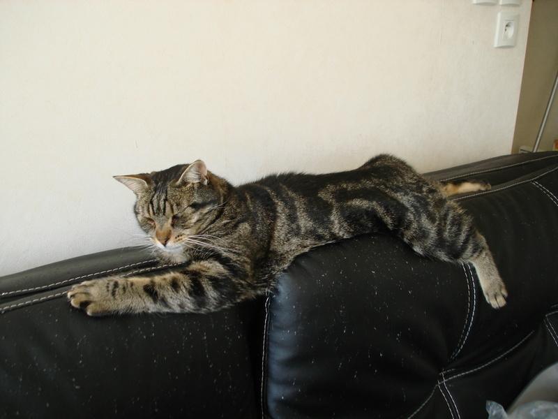 Mouty, jeune chat type européen, tigré, né en juin 2016 Dsc00014