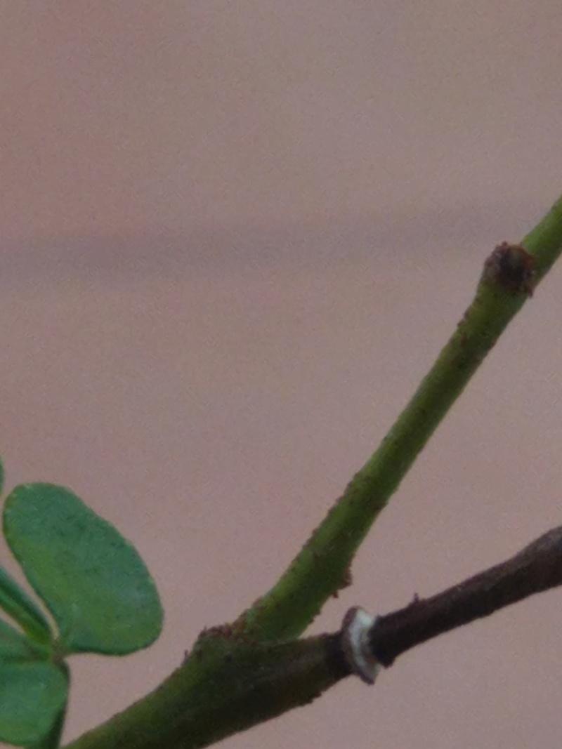 Problema posible plaga en Zanthoxylum piperitum Img_2010