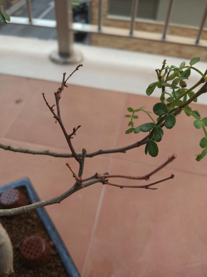 Problema posible plaga en Zanthoxylum piperitum Img_2012