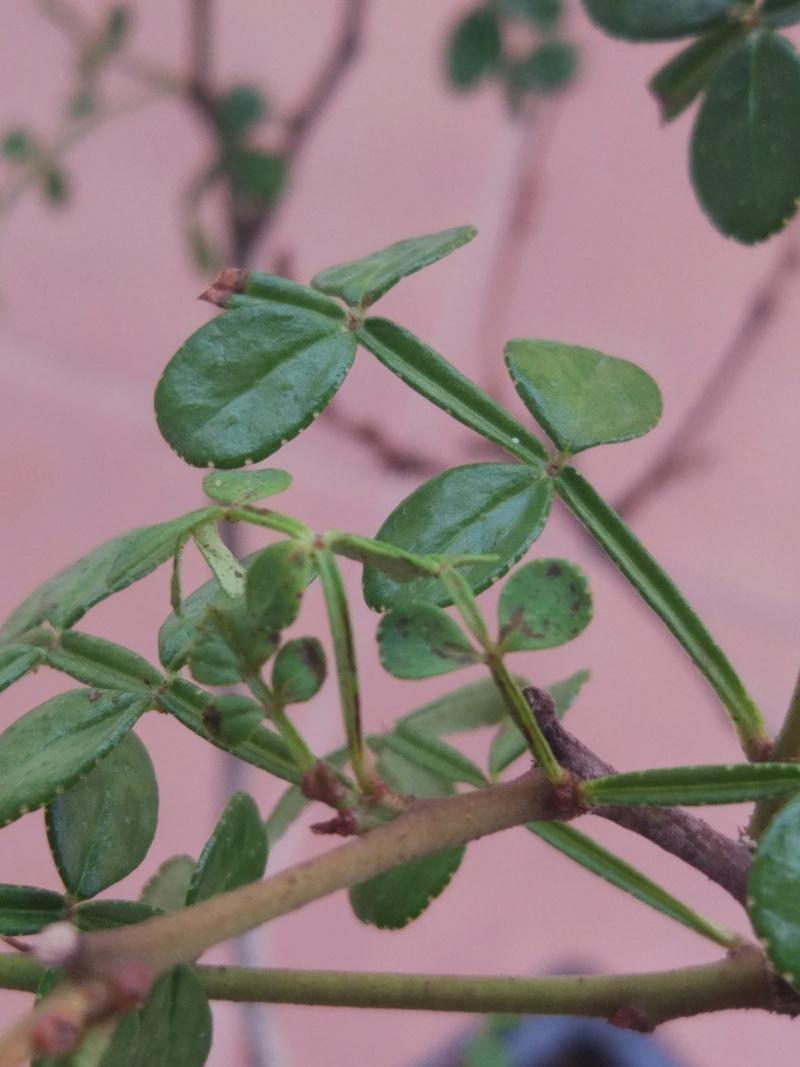 Problema posible plaga en Zanthoxylum piperitum Img_2013