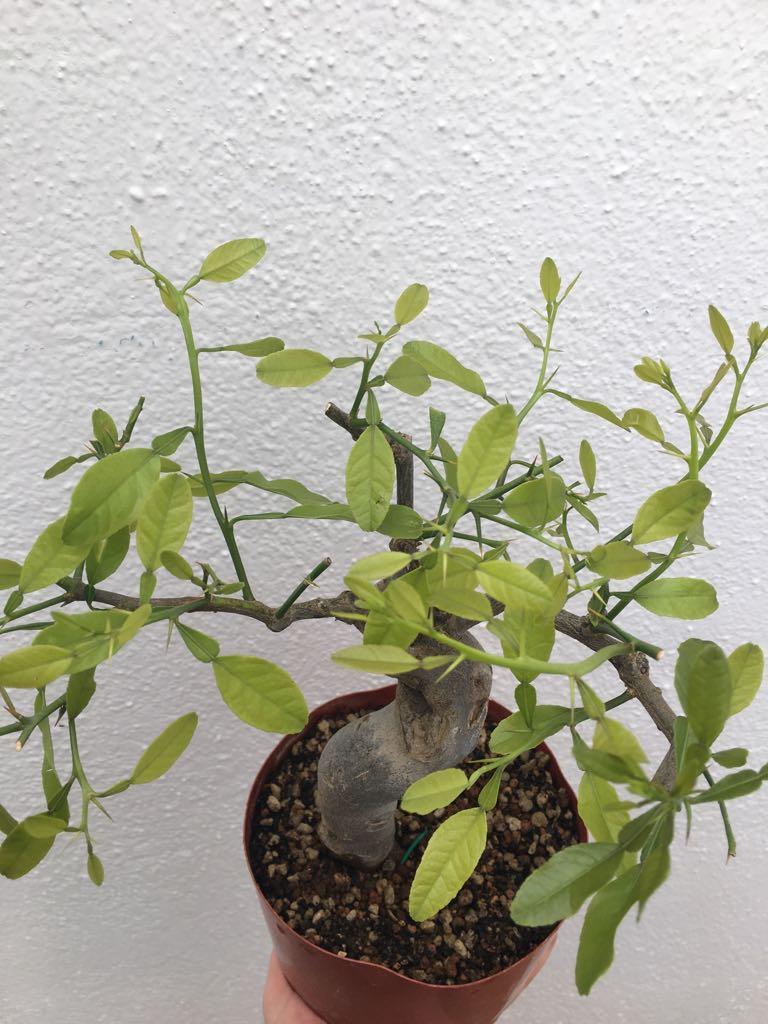 ¿Qué tipo de bonsái es este ejemplar? Whatsa11