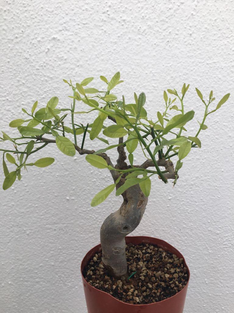 ¿Qué tipo de bonsái es este ejemplar? Whatsa16