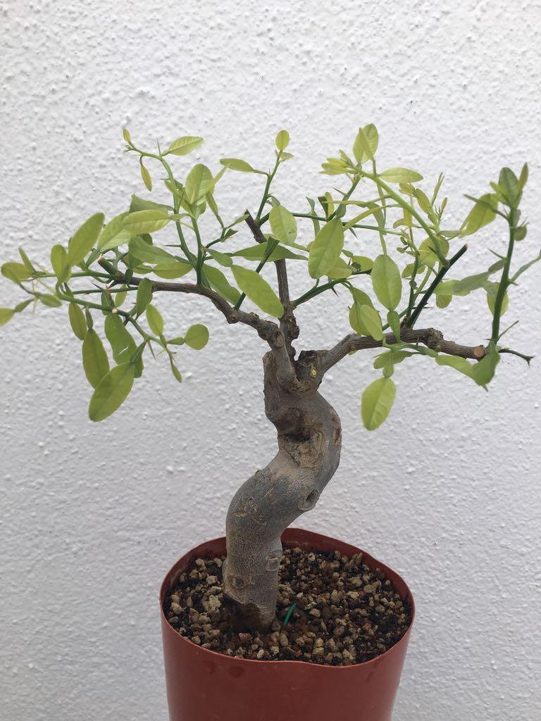 ¿Qué tipo de bonsái es este ejemplar? Whatsa17