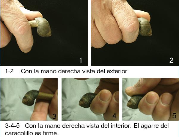 Fricción con arco: bígaro como cojinete II Agarre10