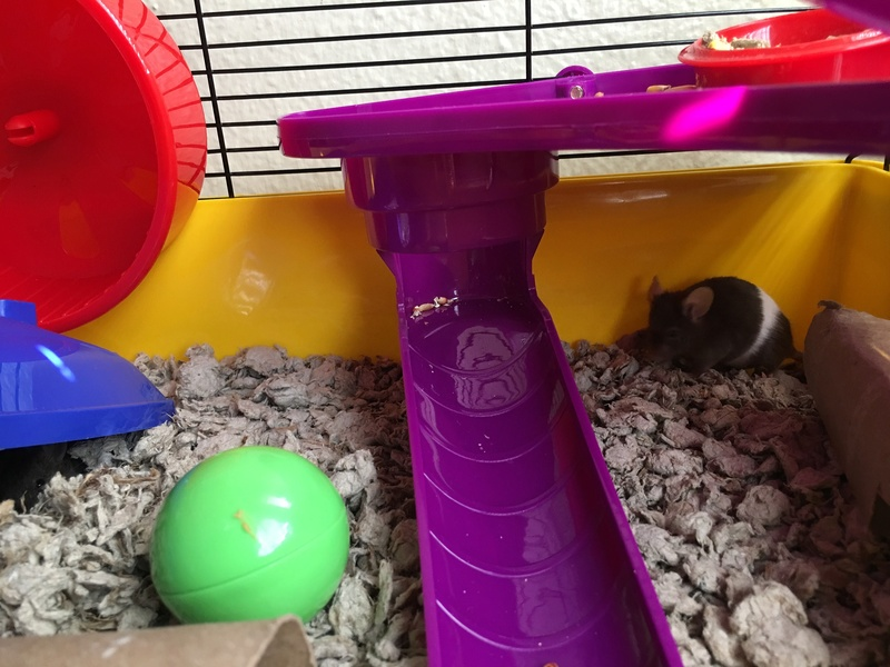 I just bought 3 female fancy mice from PetCo Image11