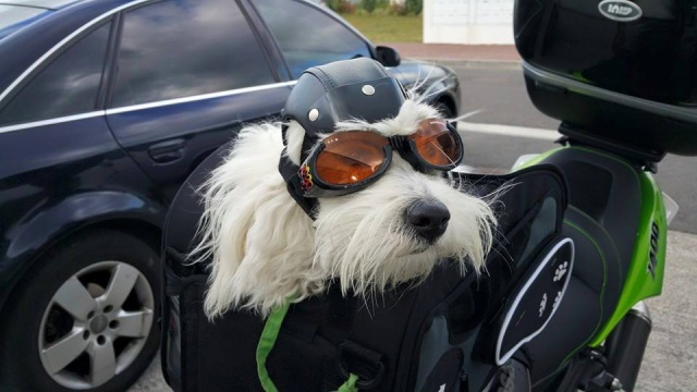 Faire de la moto avec un animal ?? - Page 2 58726510